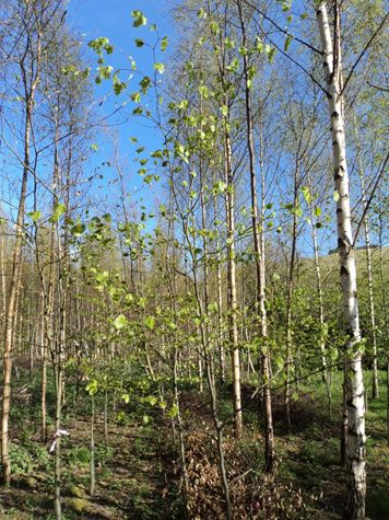 photo beech and birch